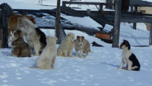 Dogs in Arctic