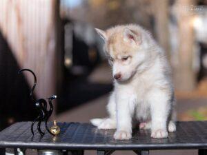 Siberian husky for sale - female 1