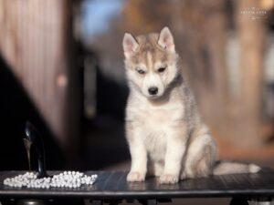Siberian husky for sale - female 2