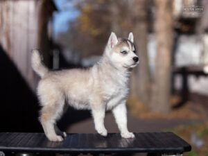 Siberian husky for sale - female 2