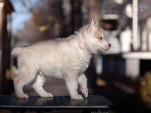 Siberian husky for sale - male 1
