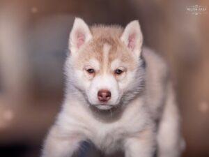 Siberian husky for sale - male 2