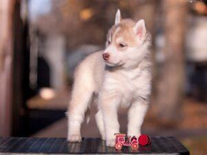 Siberian husky for sale - male 3