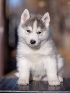 Siberian husky for sale - male 4