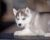 Siberian husky for sale - male 4