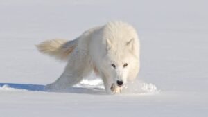 не кричи, волки